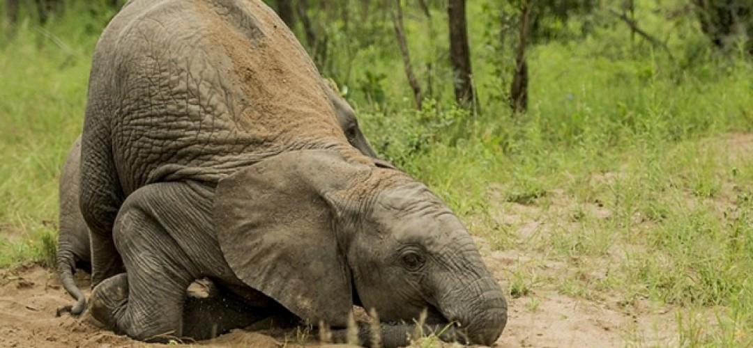olifant van glas